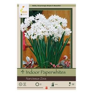 Netherland Bulb® Company Indoor Paperwhites Narcissus Ziva
