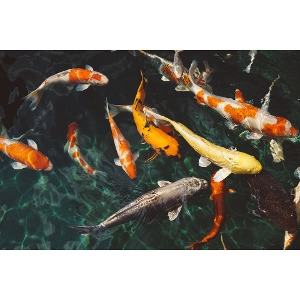 Buy 3 Koi Fish, Get 1 FREE