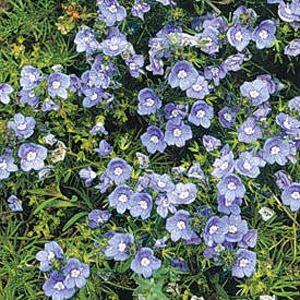 Britton Flowers Veronica - Crystal River®