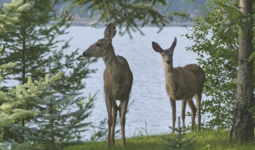 Deer Nutrition Tips for the Summertime