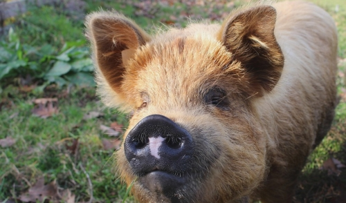 Minimizing Potential Problems when Receiving Show Pigs