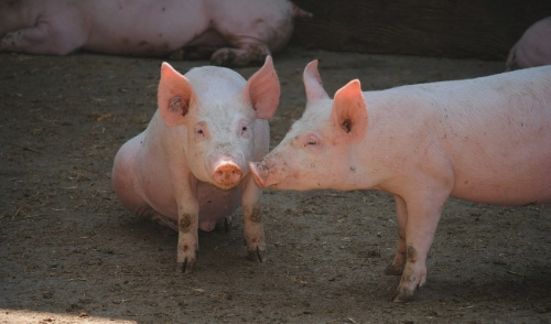 More Tips on Minimizing Potential Problems when Receiving Show Pigs