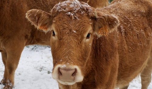 Pay close attention to winter nutrition for your cattle