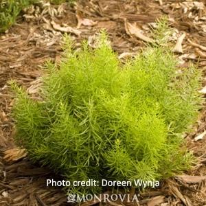 Dwarf Asparagus Fern