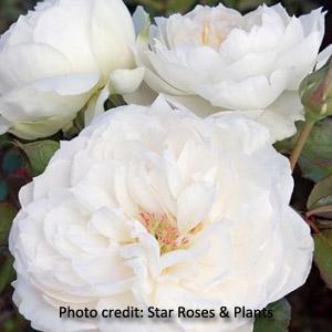 'Bolero' Romantica Rose