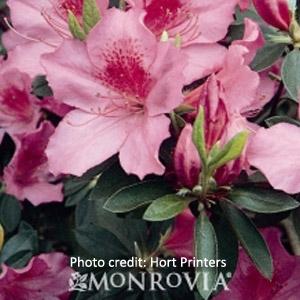 Pink & Red Formosa Azaleas