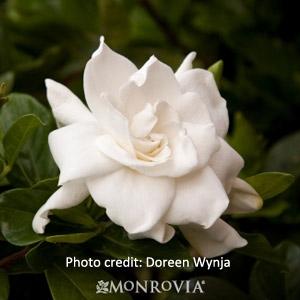 'August Beauty' Gardenia
