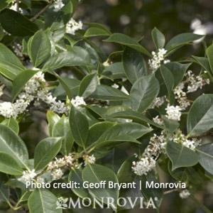 Sweet Olive Bush