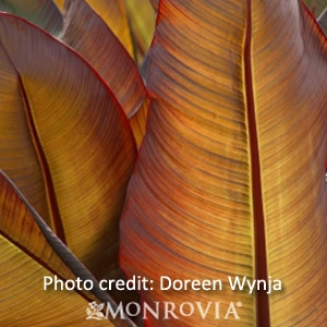 Red Leaved Banana Maurelli Plant