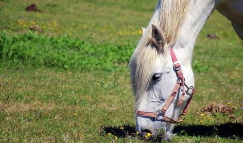Refeeding the Malnourished Horse