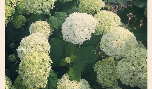 Beautiful Hydrangeas In Our Nursery