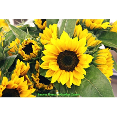 Locally Grown Sunflowers