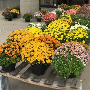 Hearty Fall Mums
