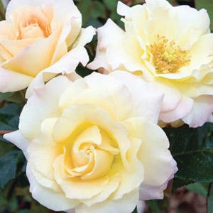 Easter Basket™ Floribunda Rose