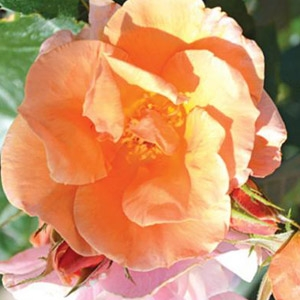 Honey Nectar™ Grandiflora Rose