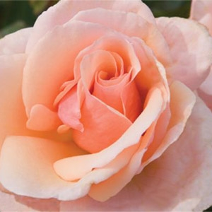 Mother of Pearl™ Grandiflora Rose