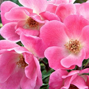 The Pink Knock Out® Rose