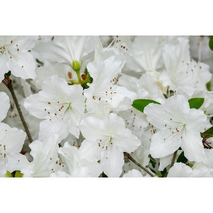 50% Off Azaleas & Rhododendrons
