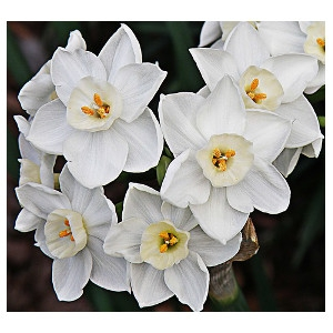 Paperwhites- 5 for $4.00