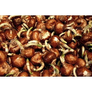 15% Off Assorted Fall Flower Bulb Packs