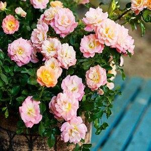 Drift® Rose