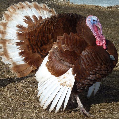 Bourbon Turkeys