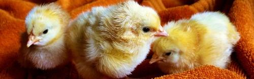 2016 Chick Season