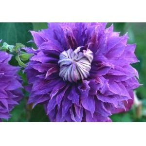 Diamantina™ Regal® Raymond Evison Clematis