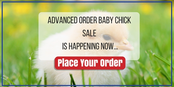 chick order