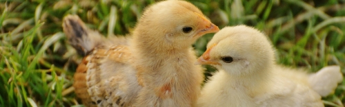 Chick Days Event - March 21st