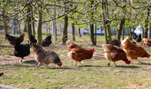 Start A Backyard Flock; Chickens Are Easy Pets That Offer Breakfast