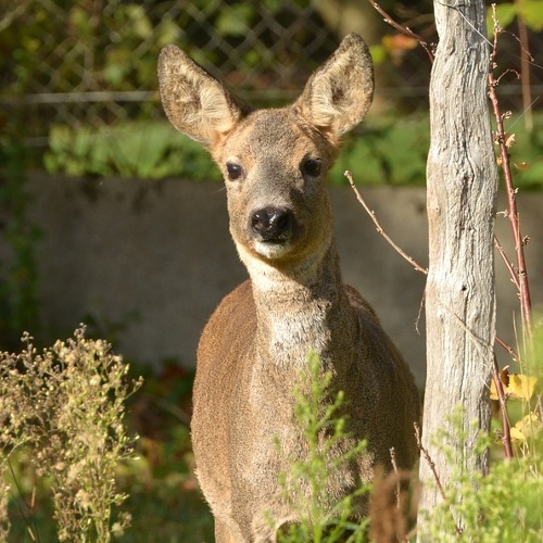White-tailed Deer Hunting (Early Youth-Only Season)