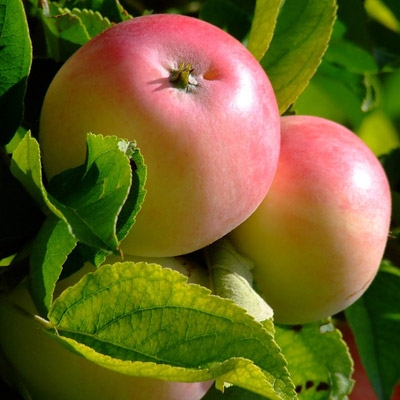 Fruit Trees are now 50% OFF Regular Prices!
