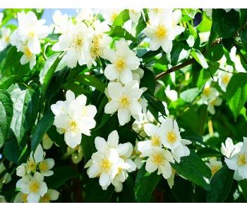 Flowering and Evergreen Shrubs