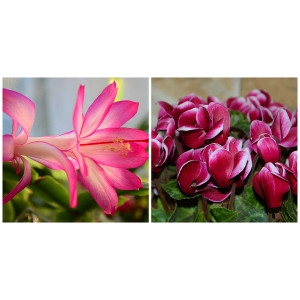 Christmas Cactus and Cyclamen
