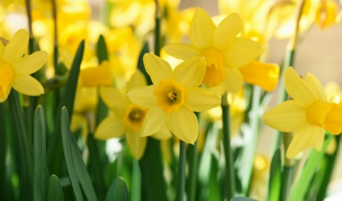 Dealing With Daffodils