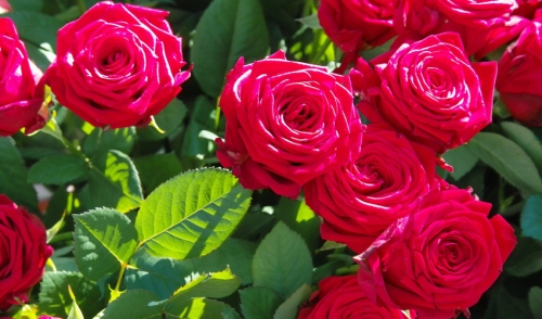 Five Easy Roses