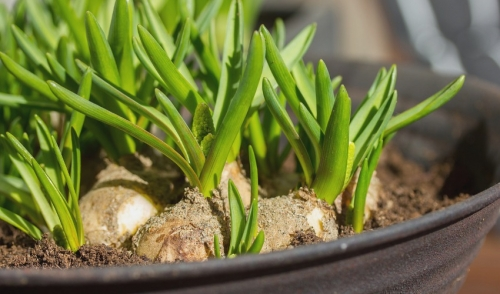 Forcing Bulbs for Winter Color