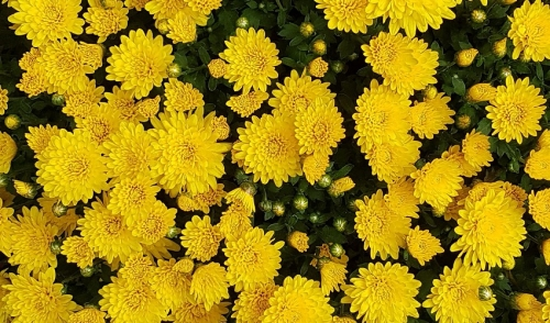 Brighten Up Beds With Mums