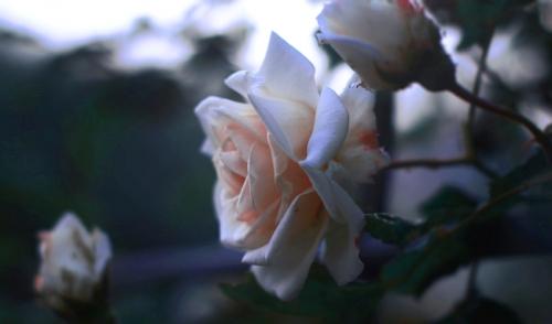 Proper Pruning = Happy Roses