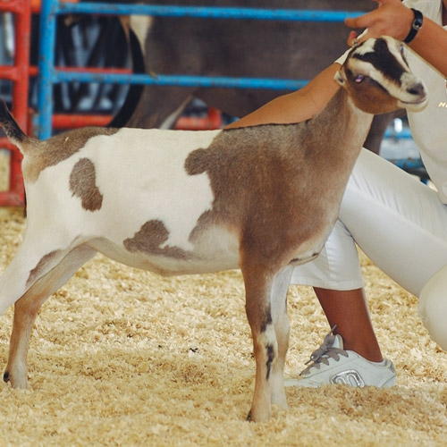 Show Chow - Sheep & Goats