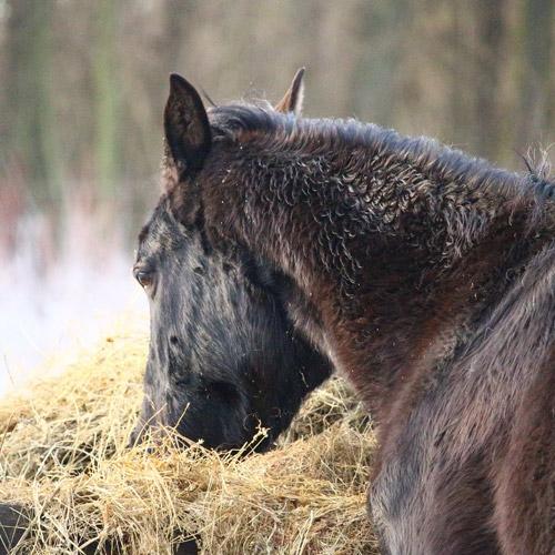 Feeding the HYPP Horse