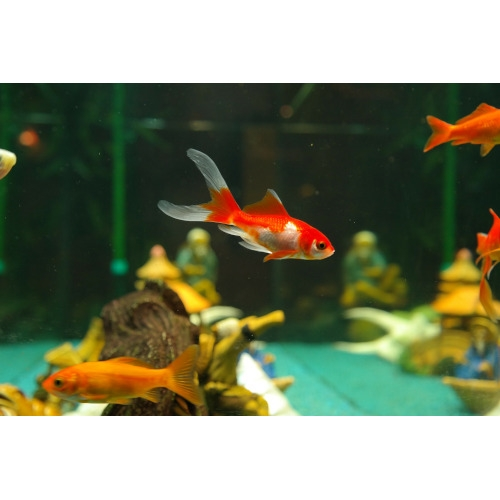 BOGO 50% OFF Fresh Water Tropical Fish