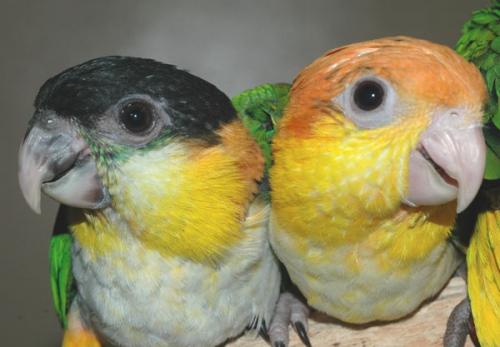 $100 off Hand Fed Baby Caique Parrots