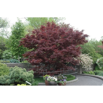 Bloodgood Upright Japanese Maple, #7 5'
