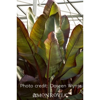 Tropical Red Banana Tree, 50% OFF