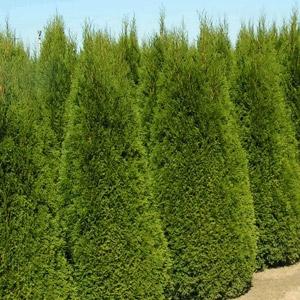 #7 Emerald Green Arborvitae, 4'