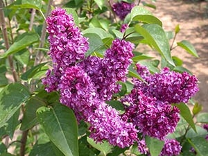 'Charles Joly' French Lilac