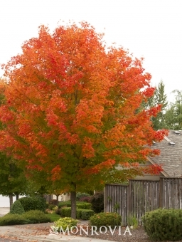 October Glory Red Maple 1.75