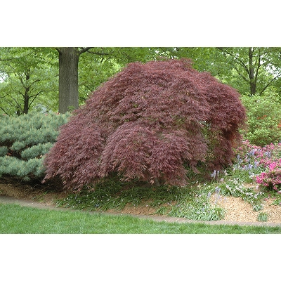 'Tamukeyama' Japanese Maple Tree